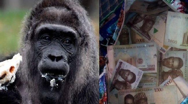 Shocking: Gorilla 'Swallows' N6.8m In Kano Zoo